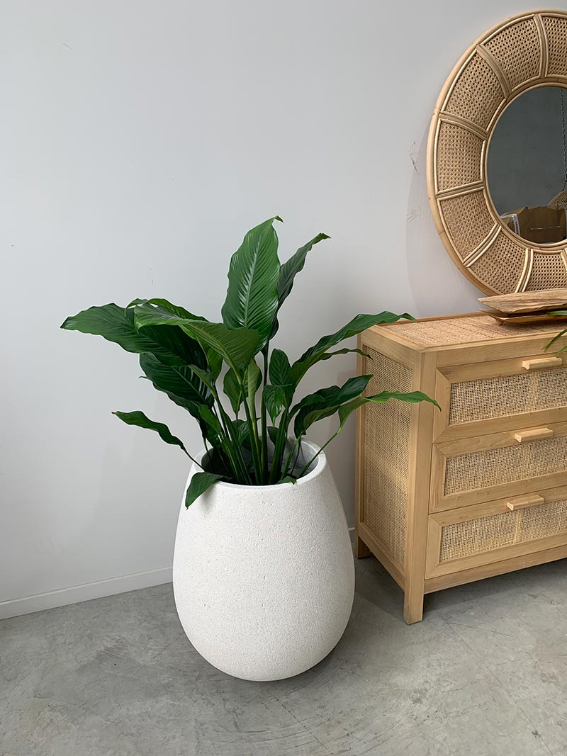 Whitestone Sagger Planter with plant inside styled room available to buy or hire from The Green Room