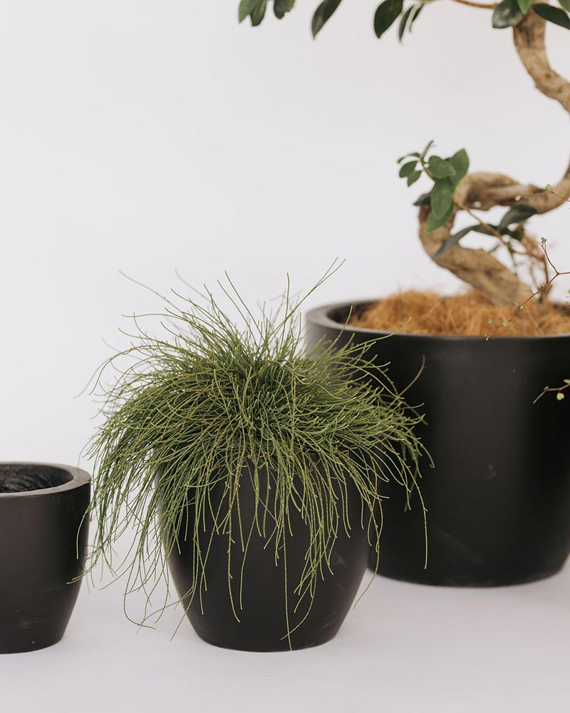Rumi concrete pot set - small pot shown - in black with different plants available to hire or buy from The Green Room