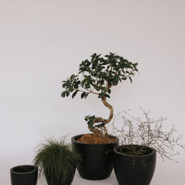 Rumi concrete pot set in black with different plants available to hire or buy from The Green Room